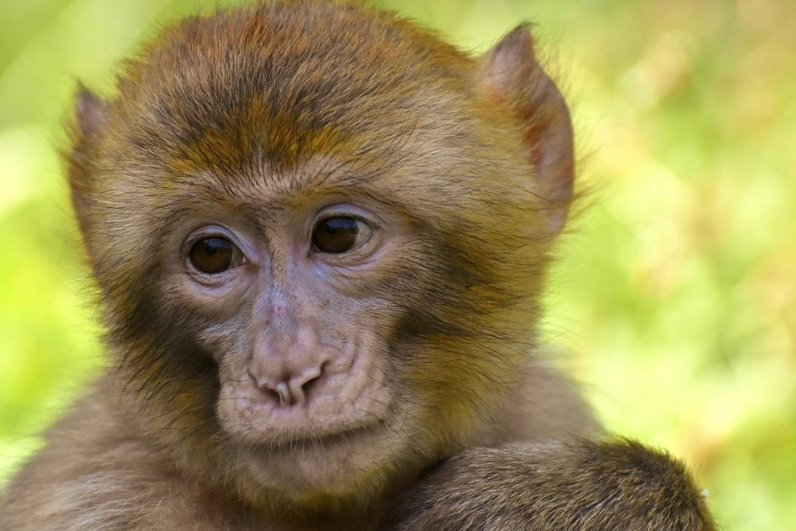 USA: PETA: Cruel treatment of monkeys in the research lab